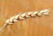 Фьючерсы на пшеницу
